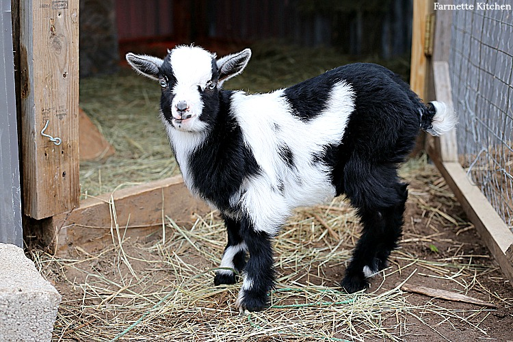 Pygmy and Nigerian Dwarf baby goats standing outside