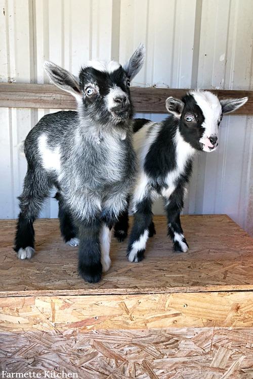 baby goats on a farmette