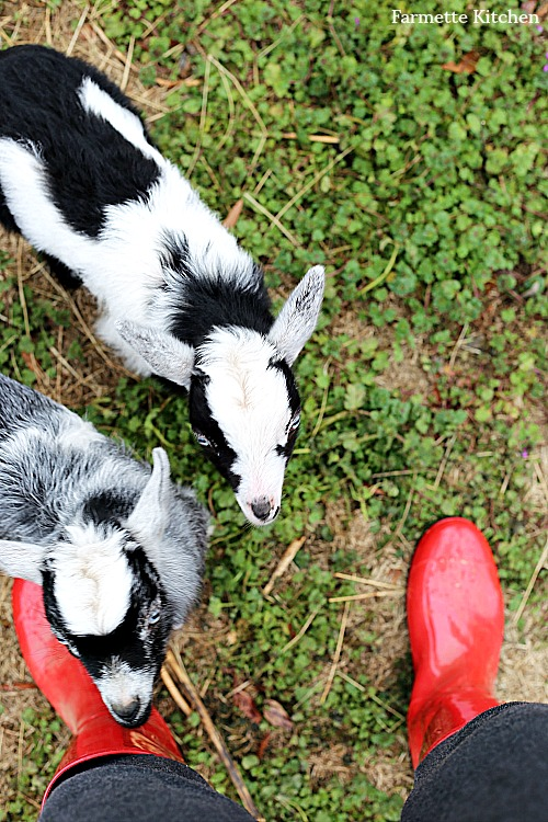 baby goats and red rain boots