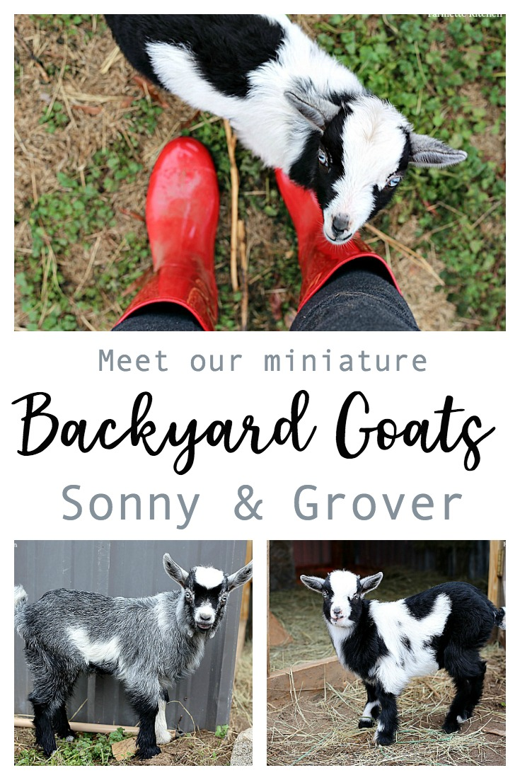 James and I always planned on getting a couple of goats (and chickens) when we moved out to the Farmette, but I never imaged they would be little baby goats! We decided on two little Pygmy + Dwarf mixes let the girls each pick one and name him. Raising baby goats has been so fun for the whole family.