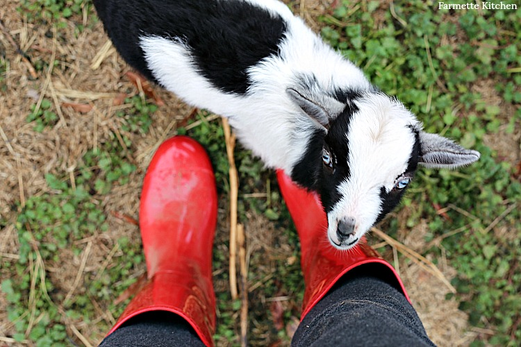 Nigerian Dwarf Baby Goat standing beside red rain boots