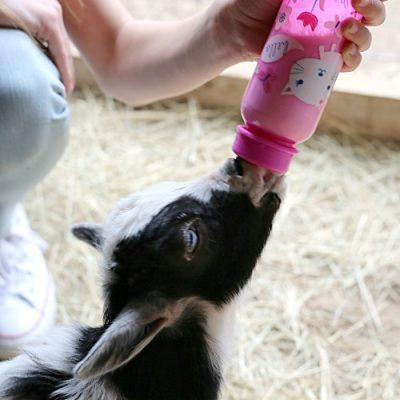 How to Bottle Feed Baby Goats