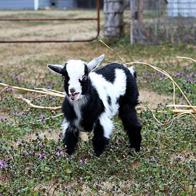 What to Know Before You Buy Goats