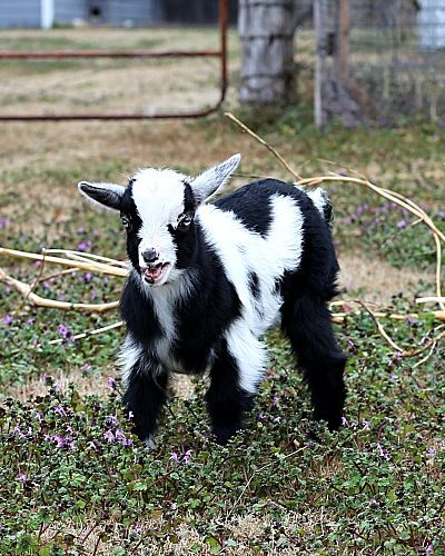 baby goat in a field