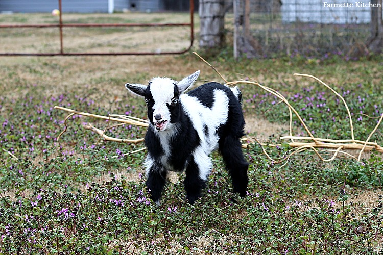 baby goat in a field