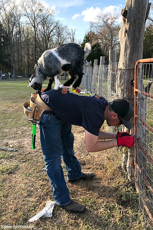 goat standing on man's back