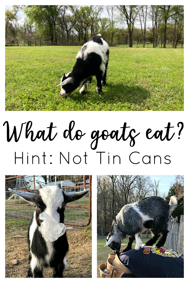 What do goats eat? The healthiest diet for a goat is to have open pasture to eat fresh, green grass (and weeds and shrubs and bushes and that kind of stuff), so they're getting exercise and good nutrition at the same time. Contrary to popular belief, they won't keep your grass neatly mowed and they don't eat tin cans!