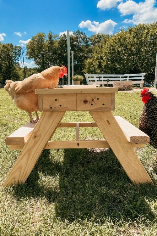 chickens standing at chicnic table